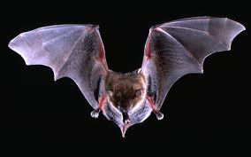 amazing animals bats use sonar jamming to steal food la times