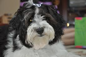 we got daisy from amor havanese in yuba city havanese friends