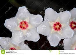 free native plants hoya carnosa royalty free stock images image 33620059