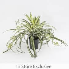 spider plant pot pillow talk