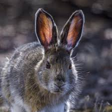 snowshoe hare national geographic