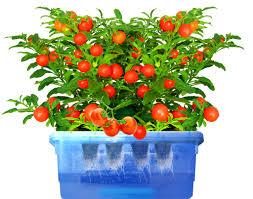 winter indoor garden in colorado indoor tomato growing tutorial