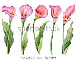 pink calla calla stock images royalty free images vectors