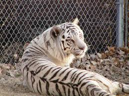 the colourless tiger by pedro pablo sacristan whizolosophy
