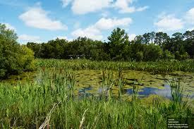 florida native aquatic plants typha species u2013 uf ifas center for aquatic and invasive plants