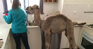 Chris Brolga Barnes Rescue Camel Loves Helping His Family Out In The Kitchen The Dodo