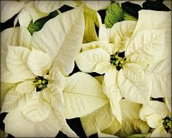 white poinsettia white poinsettia photograph by carol toepke