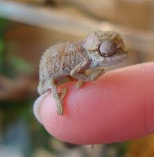 Halloween Crested Gecko Morph by Beautiful Unsexed Crested Gecko Hatchlings Ma Petite