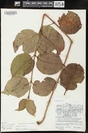 plants native to wisconsin online virtual flora of wisconsin viburnum lentago