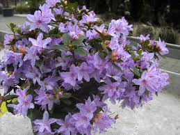 Aza Bad Zwischenahn Zwerg Rhododendron Im Lubera Gartenshop