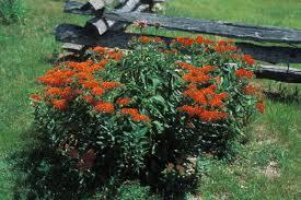 native missouri plants monarch butterflies could use your help missouri department of
