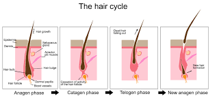 formation keratinization and elimination of the hair activilong