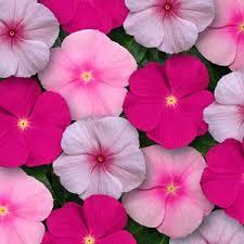 Vinca Flower Information - titan bubble gum mixture vinca