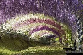 japan flower tunnel surreal wisteria flower tunnel in japan bored panda