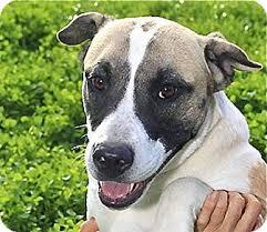 owning a australian shepherd jasmine adopted dog austin tx australian shepherd pit bull