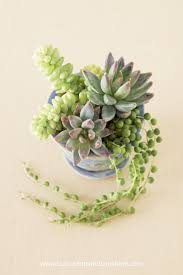 succulent arrangements tips for planting succulents in containers succulents and