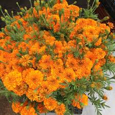 Metz Flowers - marigold flowers information recipes and facts