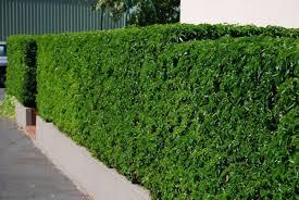 australian native hedging plants portugal laurel hello hello plants u0026 garden supplies