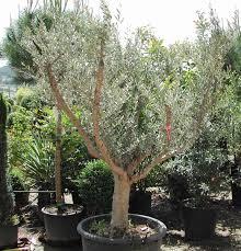 arbuste feuillage pourpre persistant pepinieres cotte nos produits arbustes o