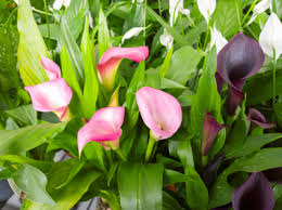 blooming plants calla lily blooming plants in chatham nj sunnywoods florist