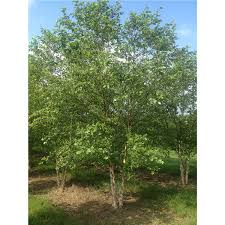 american sycamore tree 1 gallon potted growers solution