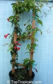 Tropical Climbing Plant - toptropicals com rare plants for home and garden