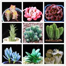 100 pcs mini cactus bonsai mix succulent seeds ornamental