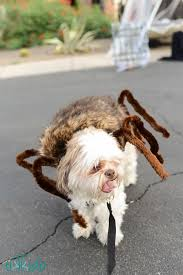 Funny Halloween Costumes Dogs 25 Dog Spider Costume Ideas Spider Dog