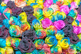 Multicolor Roses Multicolor Rainbow Rose Flower Background