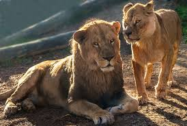 imagenes de leones salvajes gratis los leones carnívoros savannah foto gratis en pixabay