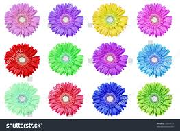 gerbera daisies different colors on pure stock photo 70005523