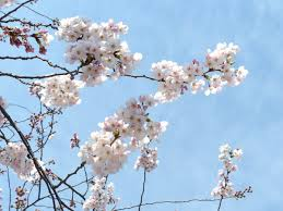 Japanese Flowers Pictures - sakura and chrysanthemum the most significant flowers in hub japan