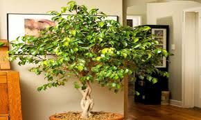 images of best indoor trees all can download all guide and how
