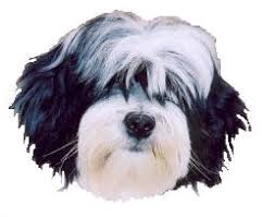 hair cuts for the tebelan terrier information about the tibetan terrier