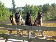 belgian sheepdog hypoallergenic tervuren belgian shepherd sheepdog dogs puppy pets and
