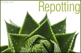 aloe vera plant facts extremely helpful tips on taking care of aloe vera plants