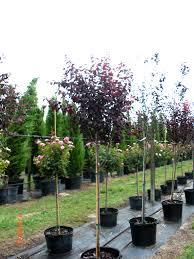 15 gallon purple leaf plum tree