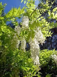 wisteria sinensis wikipedia
