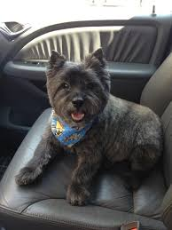 brindle cairn haircut 1048 best cairns and their cousins images on pinterest cairn