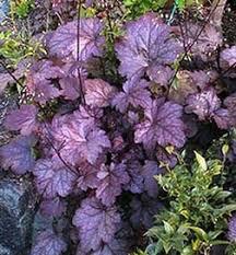 123 best heuchera coral bells images on pinterest garden ideas