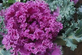free photo ornamental cabbage plant kale free image on