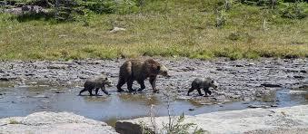Are Bears Color Blind Bear Safety Glacier National Park U S National Park Service