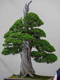 gorgeous trees on display at the 2017 world bonsai convention