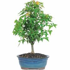 trident maple bonsai for sale brussel s trident maple bonsai