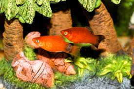 mickey mouse platy and wagtail platy 703913 tangsphoto stock