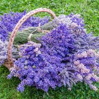 Most Fragrant Plants - strongest scented lavenders