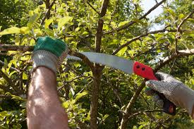 Prune Fruit Trees Basic Fruit Tree Pruning Tips