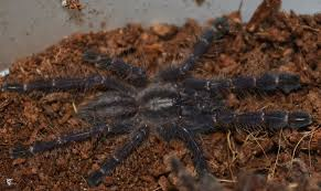 gooty sapphire ornamental spiderlings for sale