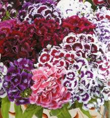 sweet william flowers 170 best sweet williams images on plants dianthus