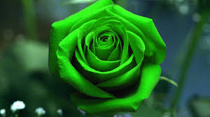 green roses green roses wallpapers